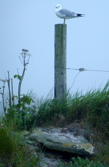 Common Gull in the mist, Westray, Orkney