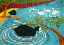 Coots and Swans