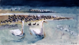 Winter swans and oystercatchers