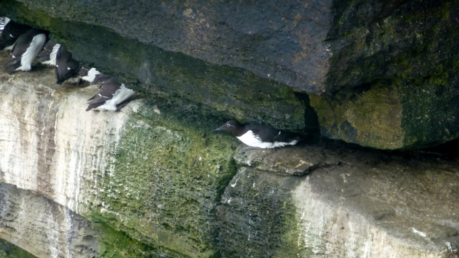 Bridled guillemot, Papa Westray