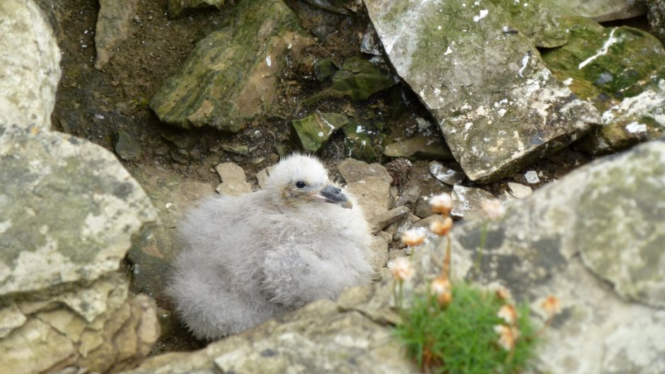 Fulmar chick, Papa Westray