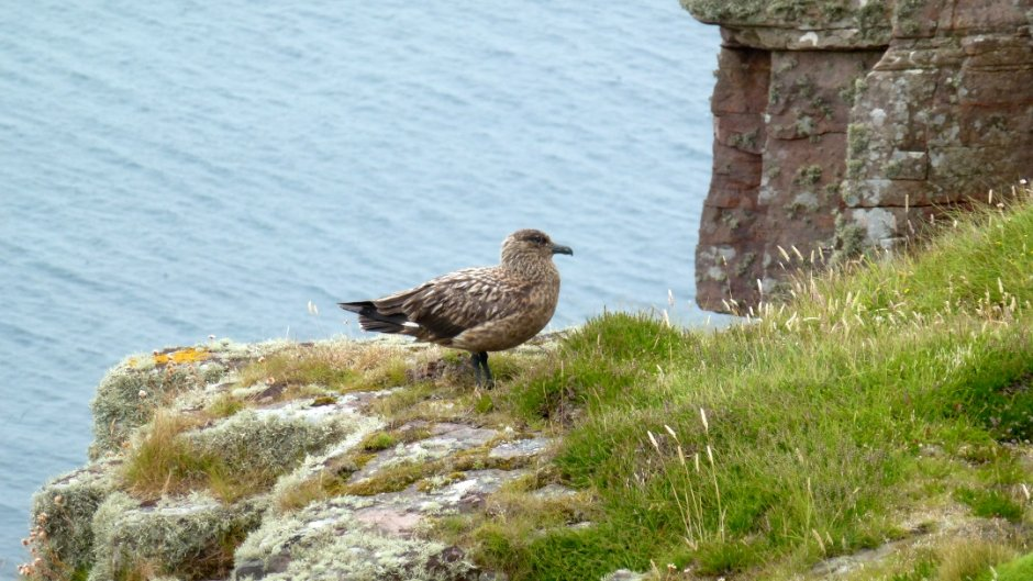 Great Skua, Handa